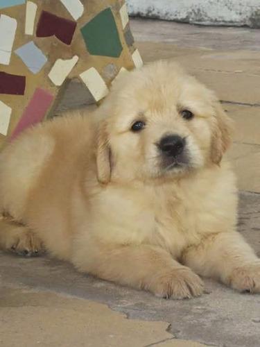 Cachorros Golden Hermosos