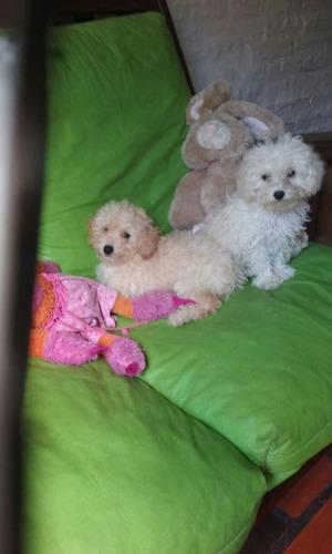Caniche Toy!!!! Cachorros Diferentes Colores Y Edades Hembra