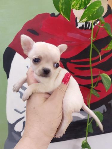 Cachorros Chihuahua Criadero Costa Azul