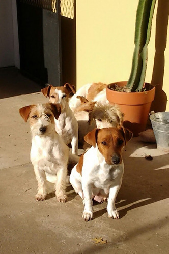 Criadero De La Pisada- 10 Años Criando Jacks Russell Terrier