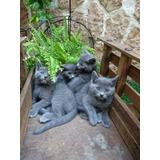 Gatitos  Azul  Ruso Machos Y  Hembras  Excelente Calidad
