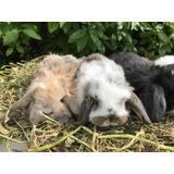 Conejos Enanos Holland Lop (orejas Caidas)