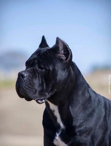Cachorros Cane Corso Disponibles -criadero Bellezza Italiana
