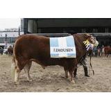 Toros  Limousin