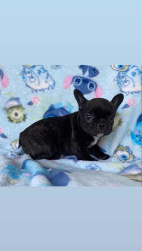 Vendo Cachorros Bulldog Frances Color Barcino
