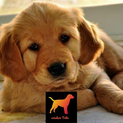Cachorros Golden Pureza 100% Hembra O Macho Criadero Tribu