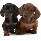 Cachorros Salchichas Mini Real