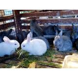 Conejos Flanders Gigantes