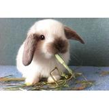 Conejos Hollande Lop