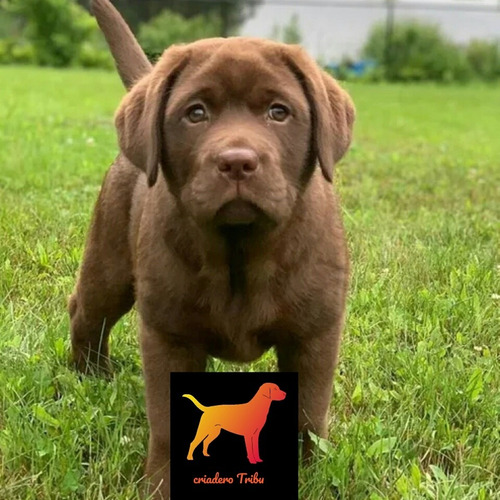 Cachorros Labrador Chocolate, 100% Pureza. Criadero Tribu