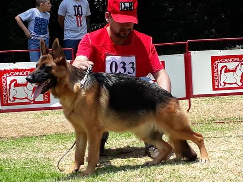 Apartado Cachorros Pastor Alemán Pedigree Selección Perros