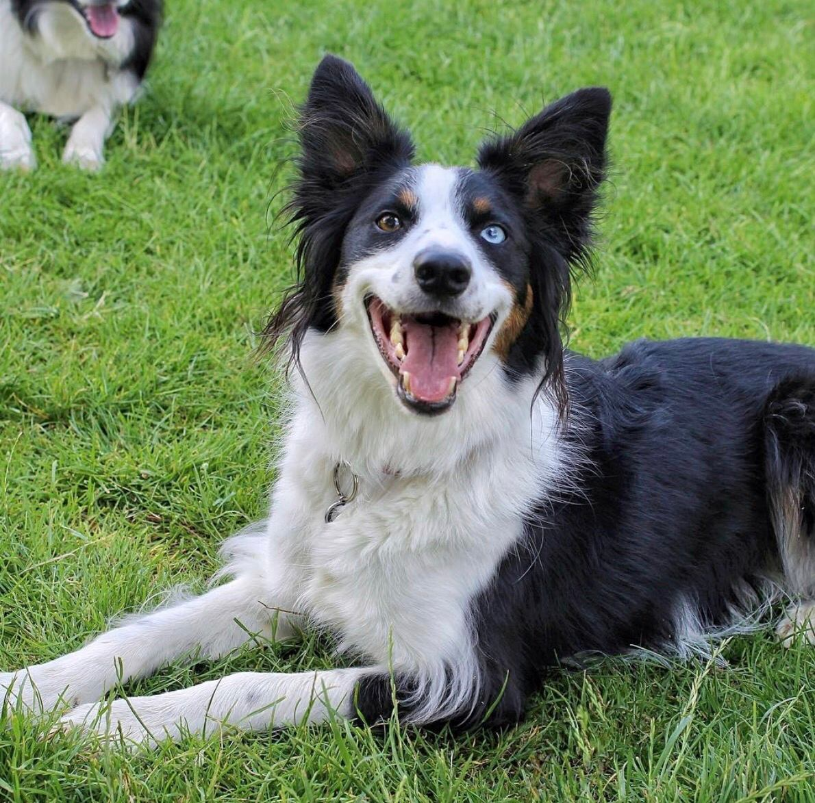 Border Collie Dog Breed Information - Vetstreet Border collie photo contest