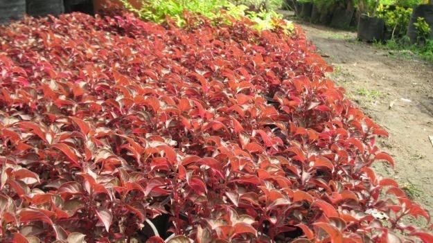 50 semillas amaranto rojo comestible plantas huerto for Arbol rojo jardin