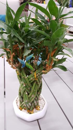 01 muda de bambú chinês da sorte - lucky bamboo - 10 a 15cm