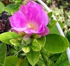 01 Mudas De Ora Pro Nobis Rosa Pereskia Grandifolia Belli R 2500