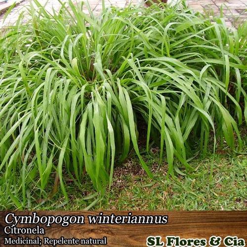 03 mudas de citronela - cymbopogon winteriannus