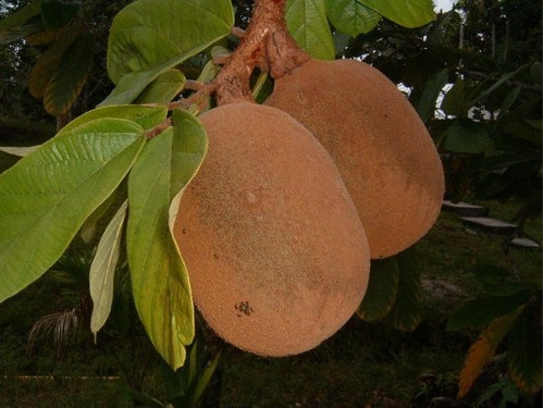 03 mudas de cupuaçu (theobroma grandiflorum)