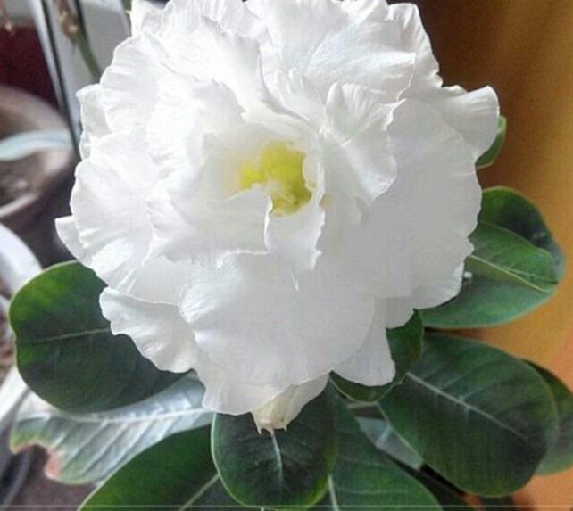 dab331468b9 05 Sementes De Rosa Do Deserto Branca Flor 4 Camada. - R$ 22,99 em ...