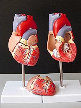 1: 1 Del Corazón Humano Anatomía Modelo B Color Estupendo Pa ...