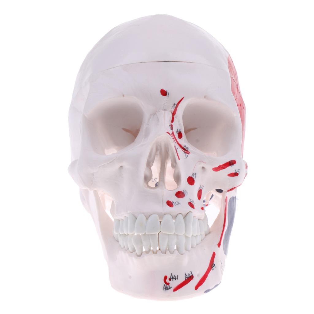 1: 1 Esqueleto De Cráneo De Cabeza Humana Kits De Modelo De ...