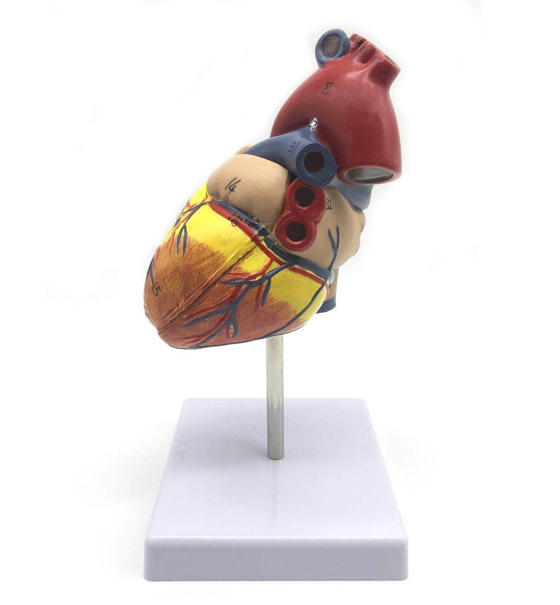 1: 1 Modelo Humano Del Corazón, El Corazón Modelo De Precisi ...