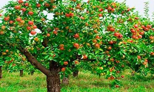 1 arbol d manzana de diferentes variedades plantas for Arboles para plantar en verano