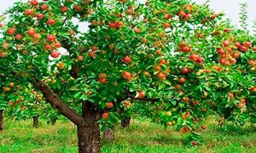 1 arbol d manzana de diferentes variedades plantas for Plantas frutales