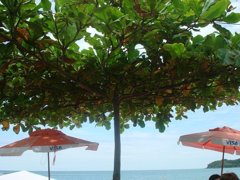 1 arbol de almendro indio terminalia catappa for Arbol comun