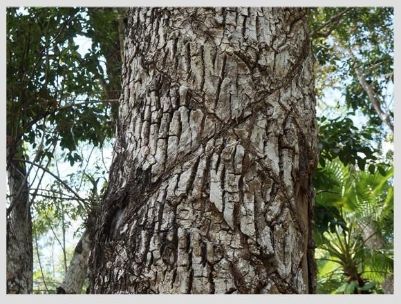 1 arbol de chico zapote rbol del chicle reforestacion for Arbol de fotos manual