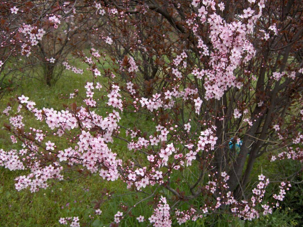 1 arbol de ciruelo japones ciruelo rojo prunus salicina for Arboles jardin japones