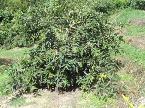 1 arbol de guayaba o guayaba manzana psidium guajava