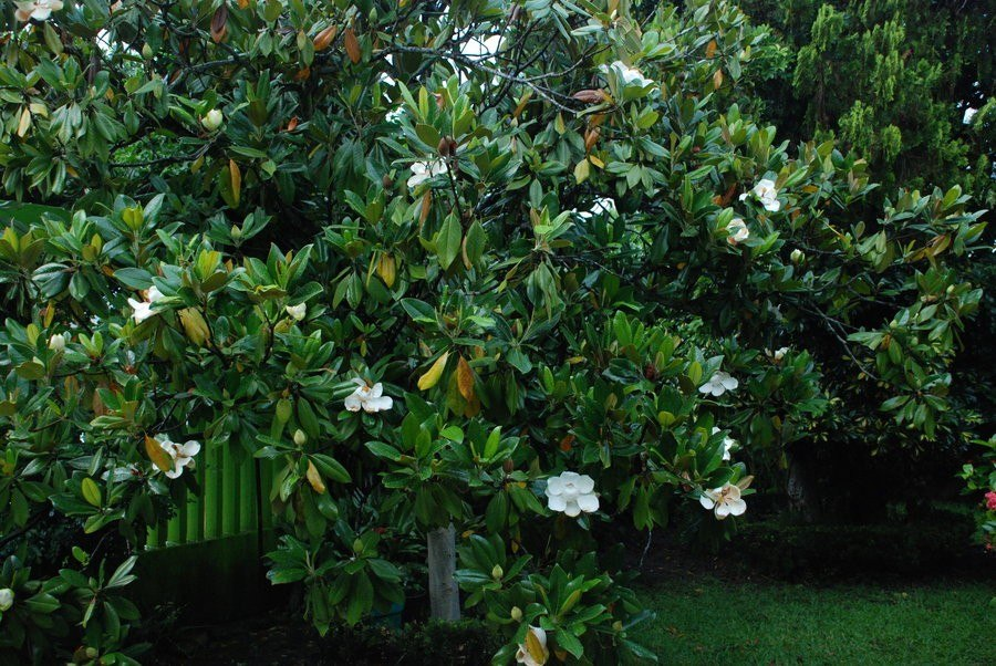 1 arbol de magnolia grandiflora 1m ya florece magnolio - Arbolitos para jardin ...