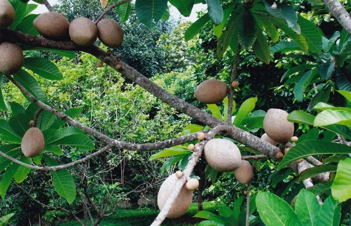 Https Arbol De Mamey Fruit Pictures to Pin on Pinterest ...
