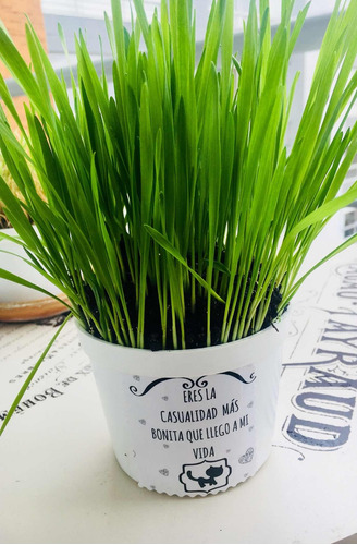 1 hierba gatuna- kit para plantar pet antojos - envió gratis