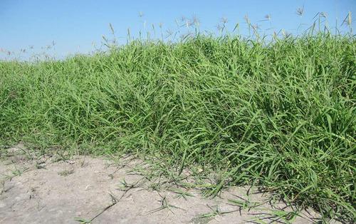 1 kg de semillas de pasto rhodes - chloris gayana pastoreo