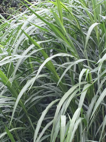 1 kg semilla pasto maralfalfa