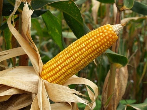 1 kg semillas de maiz amarillo var.410  hibrido  - zea maiz