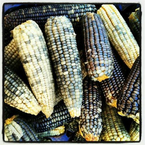 1 kg semillas de maiz azul autoctono - zea maiz codigo 149-a