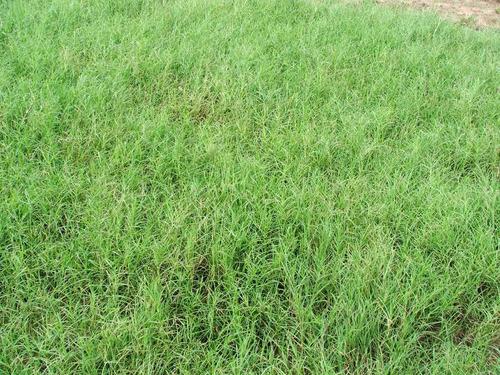 1 kg. semillas de pasto buffel - cenchrus para clima arido