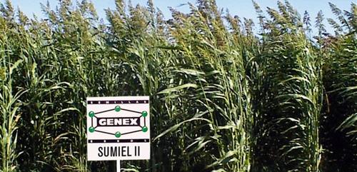 1 kilo semillas sorghum var. su miel il - sorgo forrajero