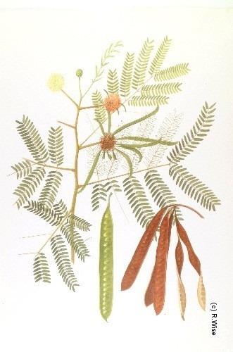1 lb semillas leucaena leucocephala cunninghan - arbol guaje