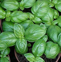 1 lb semillas ocimum basilicum albahaca italian large 200-a