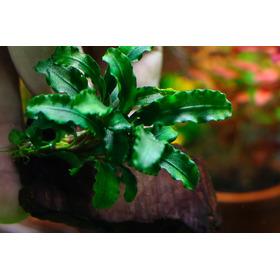 1 Mudas Bucephalandra - Wavy Green - Planta Ilha De Bornél