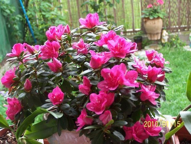 1 planta de azalea diversos colores hermosas para jardin en mercado libre - Cuidado de azaleas en interior ...