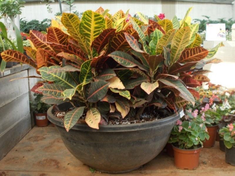 1 planta de croto setos jardines ornato parques y mas for Plantas ornamentales para parques