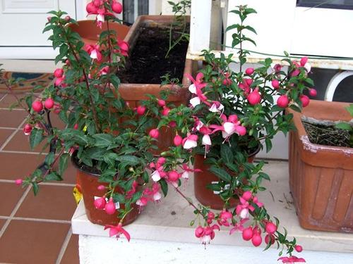 1 planta de  fuchsia o arete colores rosa y morado