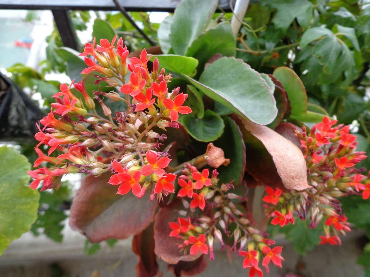 planta de kalanchoe de flores rojas sutil y resistente