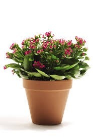 1 planta de kalanchoe plantas de ornato plantas exoticas for 10 plantas de ornato