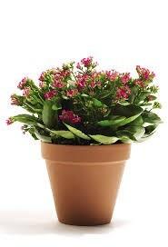 1 planta de kalanchoe plantas de ornato plantas exoticas for Plantas exoticas de interior