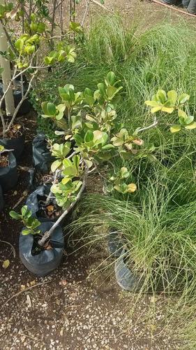 1 planta de pasto del amor, zacate lloron, eragrostis curvul